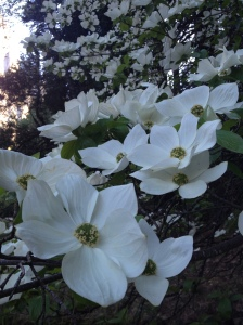 Dogwood season